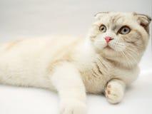 Gato britânico do shorthair Fotos de Stock Royalty Free