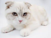 Gato britânico do shorthair Fotografia de Stock