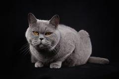 Gato britânico do shorthair cinzento em um fundo preto Foto de Stock Royalty Free