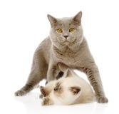 Gato britânico do shorthair e gatinho pequeno No branco Fotos de Stock