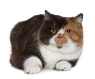 Gato britânico do shorthair, o 1 anos de idade Imagens de Stock