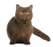 Gato britânico do shorthair, o 1 anos de idade Imagens de Stock Royalty Free
