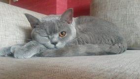 Gato britânico engraçado após o sono Foto de Stock