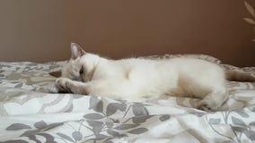 Gato britânico - gatinho lilás do ponto que joga com uma bola vídeos de arquivo