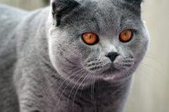 Gato britânico na caça Fotografia de Stock