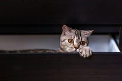 Gato britânico na caixa Fotografia de Stock