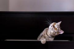 Gato britânico na caixa Imagem de Stock Royalty Free