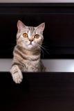 Gato britânico na caixa Fotografia de Stock Royalty Free