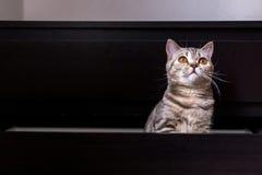 Gato britânico na caixa Foto de Stock Royalty Free