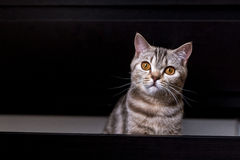 Gato britânico na caixa Fotos de Stock Royalty Free