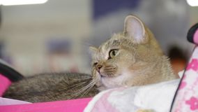 Gato britânico na mostra do gato filme