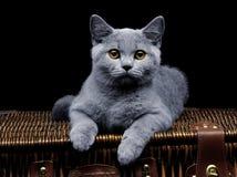 Gato britânico novo que encontra-se na mala de viagem Imagem de Stock Royalty Free