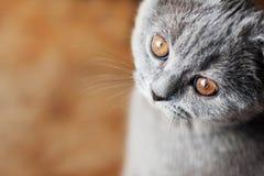Gato britânico pequeno com olhos alaranjados Fotos de Stock