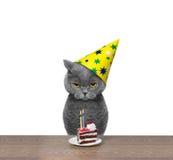 Gato britânico que comemora o aniversário com pedaço de bolo Imagens de Stock Royalty Free