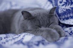 Gato britânico que dorme em uma cama imagens de stock royalty free