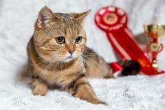 Gato britânico reto escocês do ouro Imagem de Stock