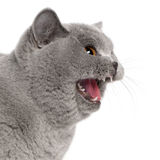 Gato britânico Scared de Shorthair que silva fotos de stock royalty free