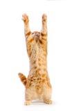 Gato britânico vermelho Fotos de Stock Royalty Free
