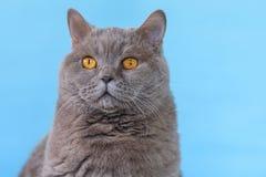 Gato brit?nico bonito de Shorthair no fundo azul imagens de stock royalty free