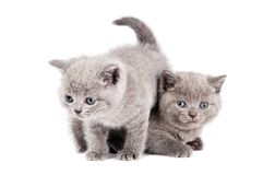 Gato británico de dos gatitos que juega Foto de archivo
