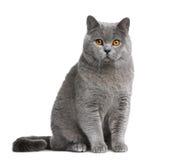 Gato britânico do shorthair, 12 meses velho Foto de Stock Royalty Free