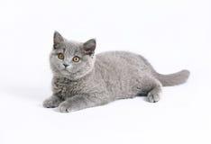 Gato británico en blanco Fotos de archivo