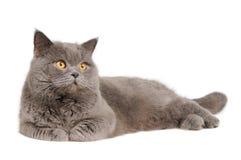 Gato britânico que encontra-se e que olha Foto de Stock Royalty Free