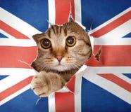Gato britânico que olha através do furo na bandeira de papel Imagem de Stock Royalty Free