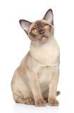 Gato Burmese imagen de archivo