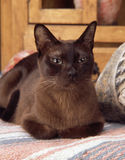 Gato burmese Imagem de Stock