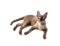 Gato Burmese Foto de archivo libre de regalías