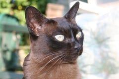 Gato Burmese Foto de Stock