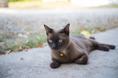 Gato Burmese Imagem de Stock Royalty Free