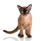 Gato burmese de Brown imágenes de archivo libres de regalías
