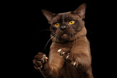 Gato burmese de Brown en fondo negro foto de archivo