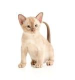 Gato Burmese que senta-se no branco Fotos de Stock