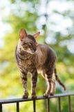 Gato córnico do cinza do rex fotografia de stock