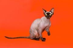 Gato calvo foto de stock