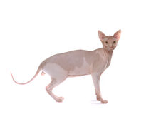 Gato calvo Foto de Stock Royalty Free