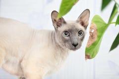 Gato calvo imagens de stock