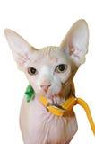Gato calvo Fotos de Stock Royalty Free