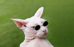 Gato calvo de Sphynx fotografia de stock