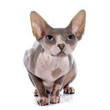 Gato calvo de Sphynx Imagens de Stock