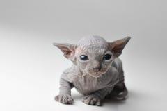 Gato calvo lindo del bebé Fotos de archivo libres de regalías