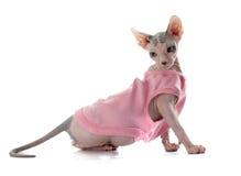 Gato calvo vestido de Sphynx imagens de stock royalty free