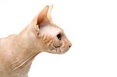 Gato, canadense Sphynx, fim acima, isolado no fundo branco Fotografia de Stock Royalty Free