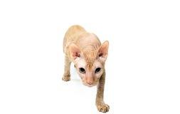 Gato, canadense Sphynx, fim acima, isolado no fundo branco Foto de Stock Royalty Free