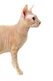 Gato, canadense Sphynx, fim acima, isolado no fundo branco Imagens de Stock