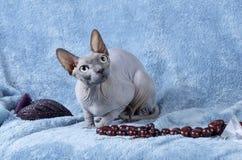 Gato canadiense del sphynx Imagen de archivo