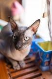 Gato canadiense del sphynx Fotografía de archivo libre de regalías
